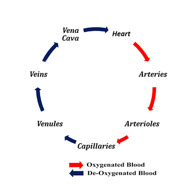 Bloodflow diagram